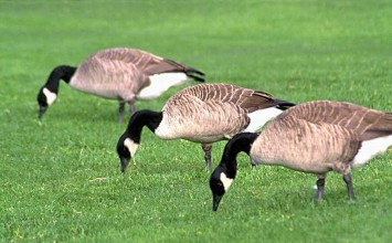 Geese Control Solutions